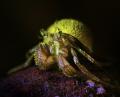 Fluorescent hermit crab