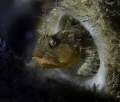 Scalyhead sculpin in a boot sponge. Howe Sound, British Columbia, Canada