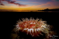 Dahlia anemone (Urticina felina), double exposure in camera, Zeeland, The Netherlands.