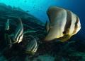 batfishes
