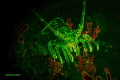 The Cape Rock Lobster in False Bay has only a touch of fluorescence