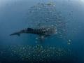 Big Fish Small Fish   Whale Shark   Rhincodon typus  Sail Rock  Thailand