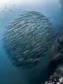 Resistance Is Futile  Chevron Barracuda   Sphyraena qenie  Sail Rock  Thailand