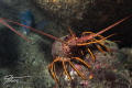 Lobster and Fish at Conner's Reef, San Diego  Dove with Marissa Charters' great crew! Pentax K5iis & 50mm Macro