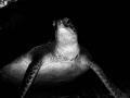 Green Turtle (Chelonia mydas) Roatan, Honduras