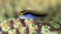 Yellownose goby, Red Beryl, Bonaire
