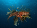 Lion fish mating dance...found in Mahahual Q.Roo at 80ft of water