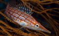 My favourite 'small fish' the Longnosed hawkfish