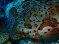 A neon Goby cleans a Balloonfish as it lies unmoving on the bottom in the waters of the Roatan Marine Park.