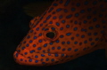 Portrait of a Coral Cod Nikon D-70, 60mm lens, dual YS 120 strobes