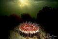 Dahlia anemone (Urticina felina), Zeeland, The Netherlands.