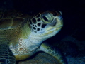 This green Sea turtle was resting under a ledge and allowed a few photographs.