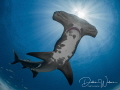 This is a well-known female great Atlantic hammerhead shark in Tiger Beach and is nicknamed