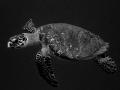Hawksbill Turtle(Eretmochelys imbricata) Roatan, Honduras