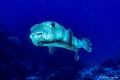 Porcupinefish in Cozumel