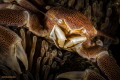 The Battle Lost  Porcelain crab sacrificed its tentacle in a battle for territory