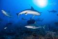 Reef Sharks in a Row, Gardens of the Queen, Cuba