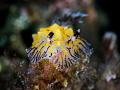Well  That Was Awkward ...    Nudibranch   Reticulidia sp.      Padagbai  Bali  Indonesia