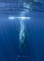 The largest mammal ever to live on earth. The Blue Whale