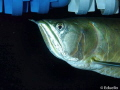 Silver Arowana  great fish