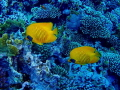 Pair of Masked Butterflyfish Chaetodon semilarvartus 