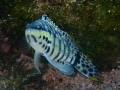 A Harlequin Bass posing for a photo in the water of the Roatan Marine Park.