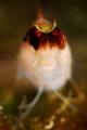 Small Parablennius Rouxi