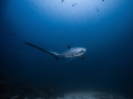 This rare and majestic thresher shark is only seen at Monad Shoal. Malapascua with high possibility. It is difficult to take nice photo of them because of light prohibition  low visibility  their cautious characteristic and deep dive.