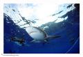 Sharks at Jupiter, Florida