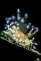 Janolus cristatus