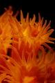 Underwater flames (Astroides calycularis madrepora)