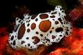 Underwater cow (Peltodoris atrmaculata)