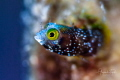 Blenny in home,Gardens of the Queen, Cuba