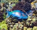 Parrotfish #2 Molokini Crater, Maui