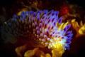 Shades of Blue  Gasflame Nudibranch on its favourite bryozoans
