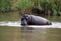 Hippo Kruger Park Africa