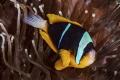 Old Time Favorite Twobar Clownfish
