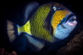 The Coral Cruncher Parrot Fish and cleaner wrasse with its formidable teeth to crunch coral