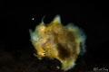running frogfish iso100, f40, 1/200s, with Nikon D800, 105mm vr, sea&sea ys-d2 at seraya secret, tulamben, bali