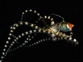 A floating wonderpus n the Lembeh strait