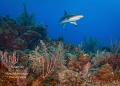 On Patrol    A Caribbean reef shark sweeps in for a closer view as it patrols a coral reef on the East End of the island.
