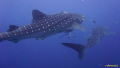 whalesharks at Sail Rock, Gulf of Thailand. Shot taken with Sony Alpha 5100, Meikon housing