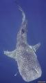 whale shark at Sail Rock, Gulf of Thailand