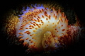 It takes two to tango  Blue and Yellow gas flame nudibranchs in a mating ritual