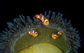 Clownfish family.
