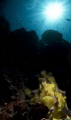 Yellow Frogfish with sunlight