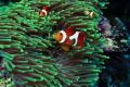 Anemona fish