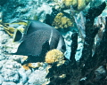 French Angelfish, Belize