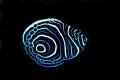Juvenile emperor angelfish.