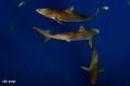 silky sharks F